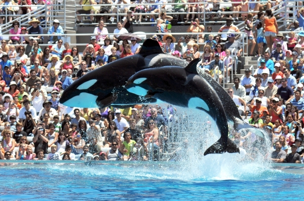 Shamu en SeaWorld